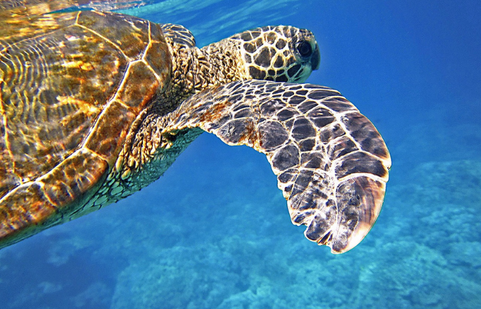 15 Things to Do on Oahu | Snorkel with Sea Turtles