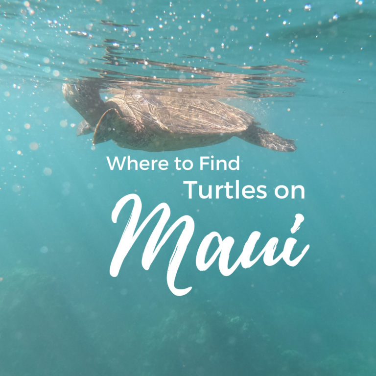 Where to See Turtles in Maui